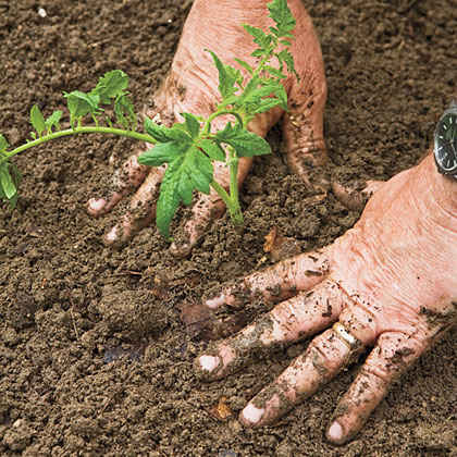 What time of the year is best for tomato planting?