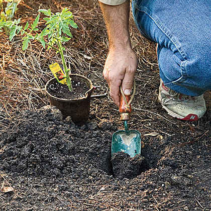 Tips for Planting Tomatoes